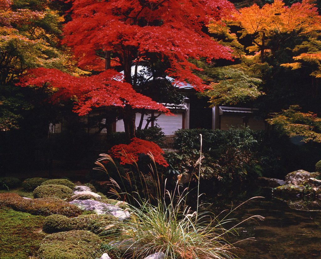 Les érables rouges et jaunes du japon